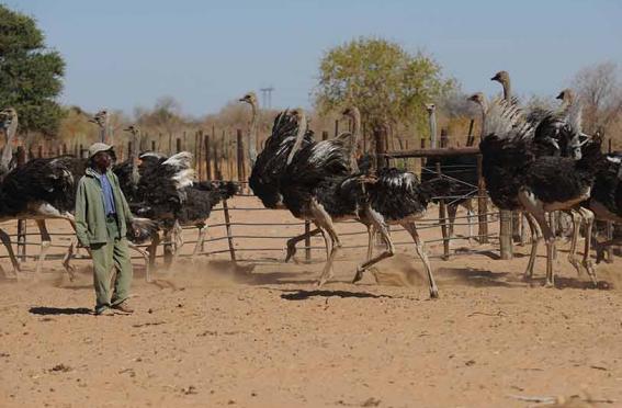 Photo of Vacancies At Dibete Ostrich Multiplication Unit