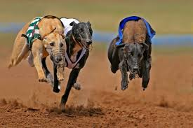 Photo of Dog racing hits Manyana this weekend