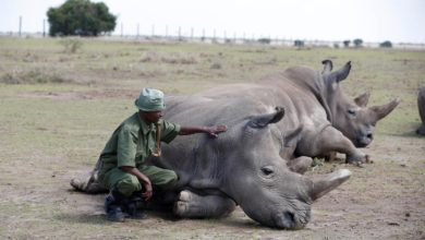 Photo of 2 Rhinos poached and killed in Botswana